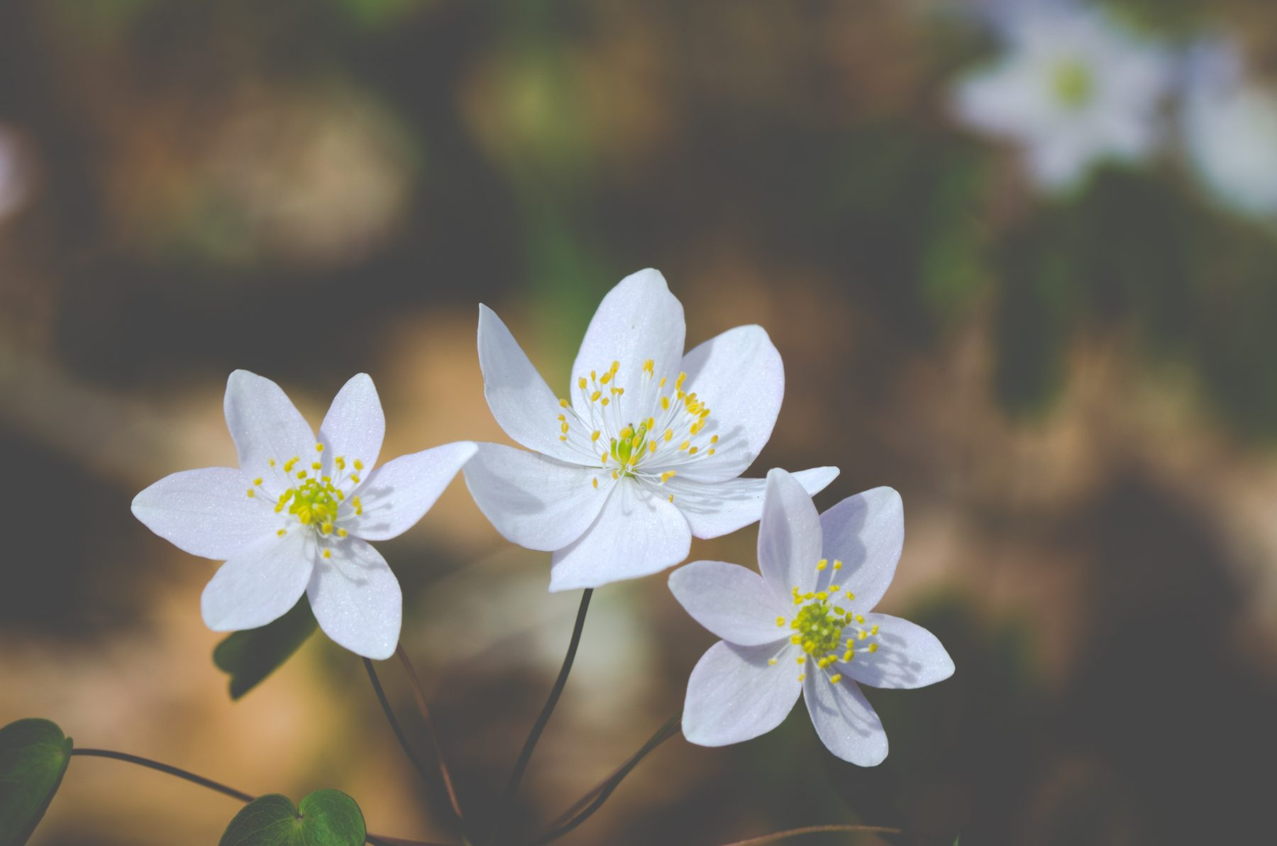 A small but tough herb, often on small well-drained mounds or slopes without deep leaf litter, alongside oak sedge. Blooms for an extended period in April to May.